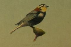 Chatham - Chestnut Collard Longspur